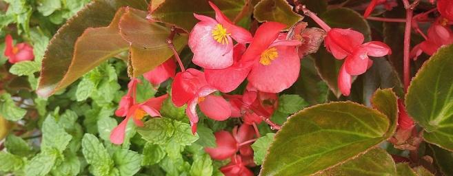 begonia-mint.jpg