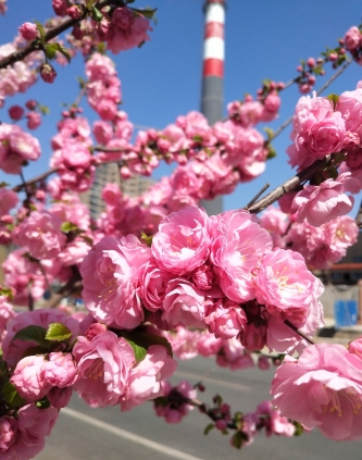 Some pretty second-year blossoms. Seeing them with that background of the striped smokestack against the blue sky gave me feelings of familiarity.